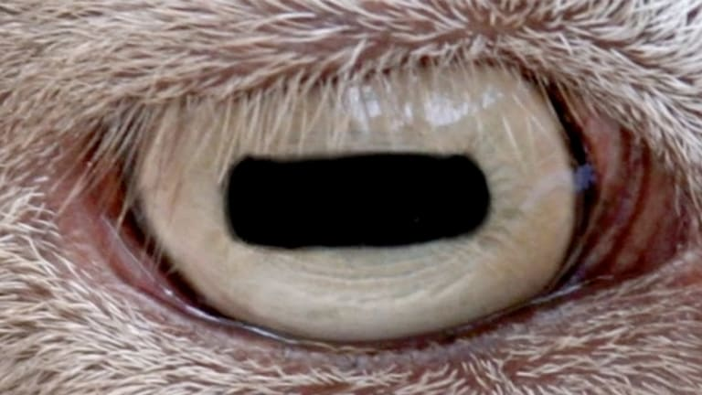 Can You Identify These 25 Exotic Animal Eyeballs?
