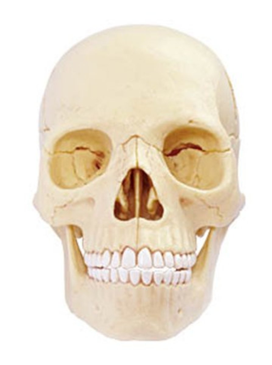Available at INKEDSHOP.COM: Anatomy Skull by Black Label