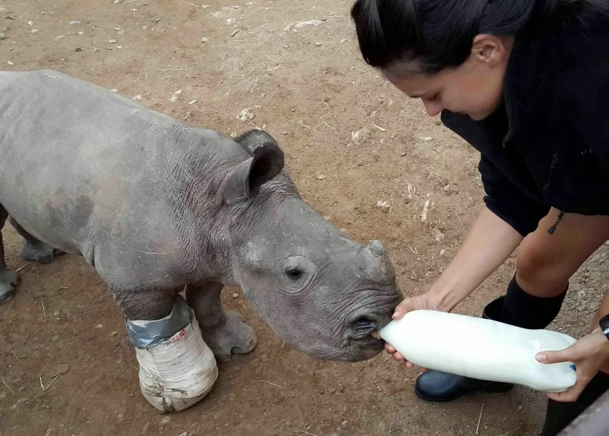 Arthur the baby rhino being treated by staff at the orphanage. See Ross Parry story RPYRHINO - Harrowing picture shows injured baby rhino barely alive alongside his dead mother who was killed for her precious horn in Kruger Park, South Africa