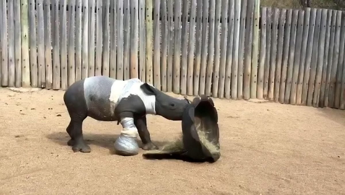 Arthur the baby rhino playing at the orphanage. See Ross Parry story RPYRHINO - Harrowing picture shows injured baby rhino barely alive alongside his dead mother who was killed for her precious horn in Kruger Park, South Africa