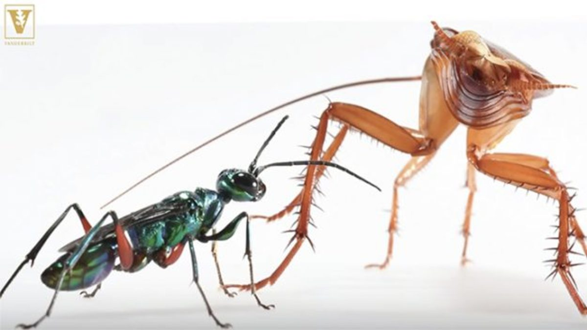 American-Cockroach-vs.-Emerald-Wasp-2--625x352