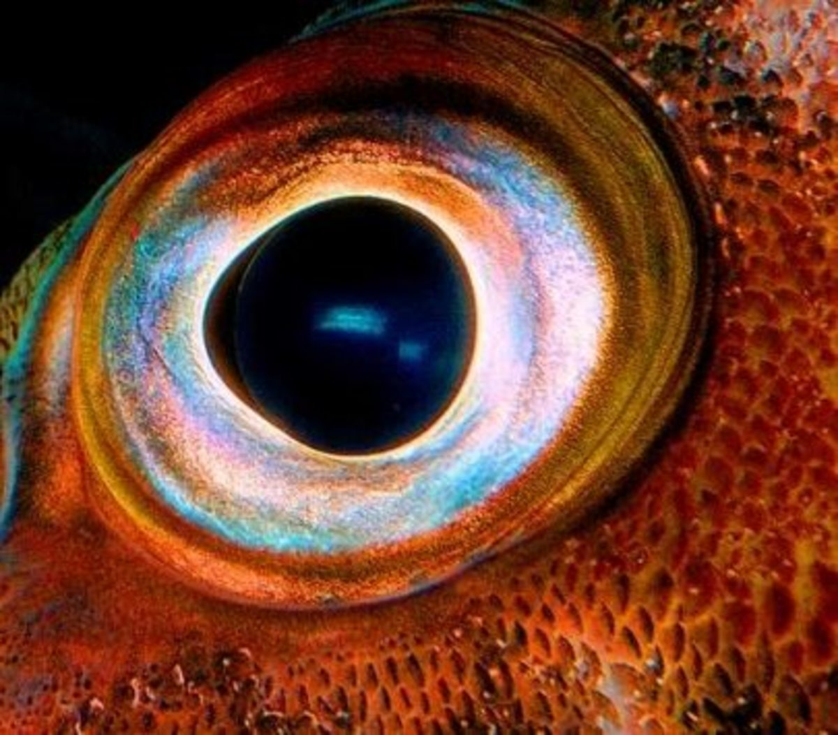 colossal-squid-eye